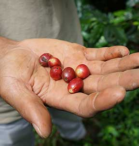 coffee-cherries-picked